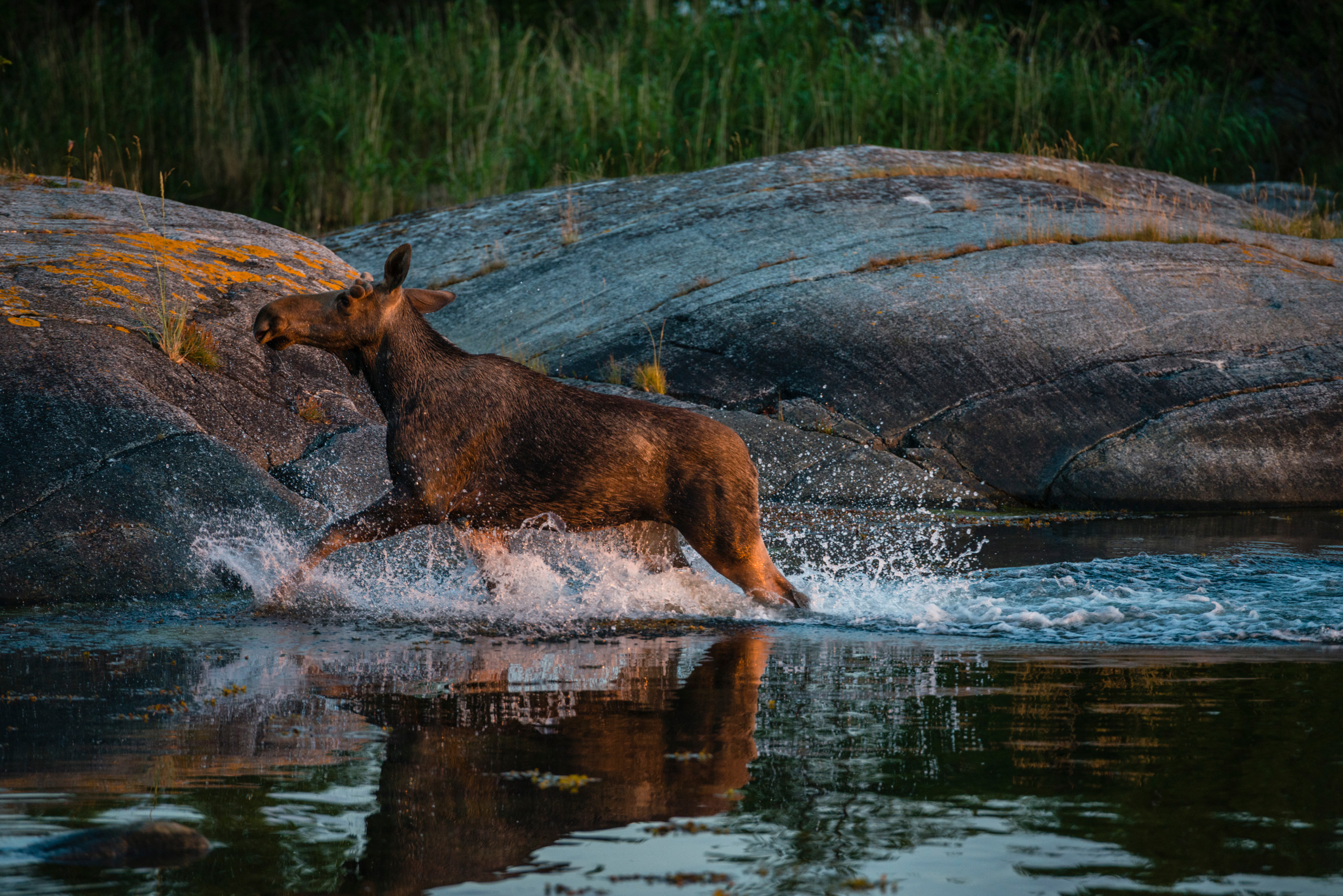 helena_wahlman-moose_in_water-4283.jpg