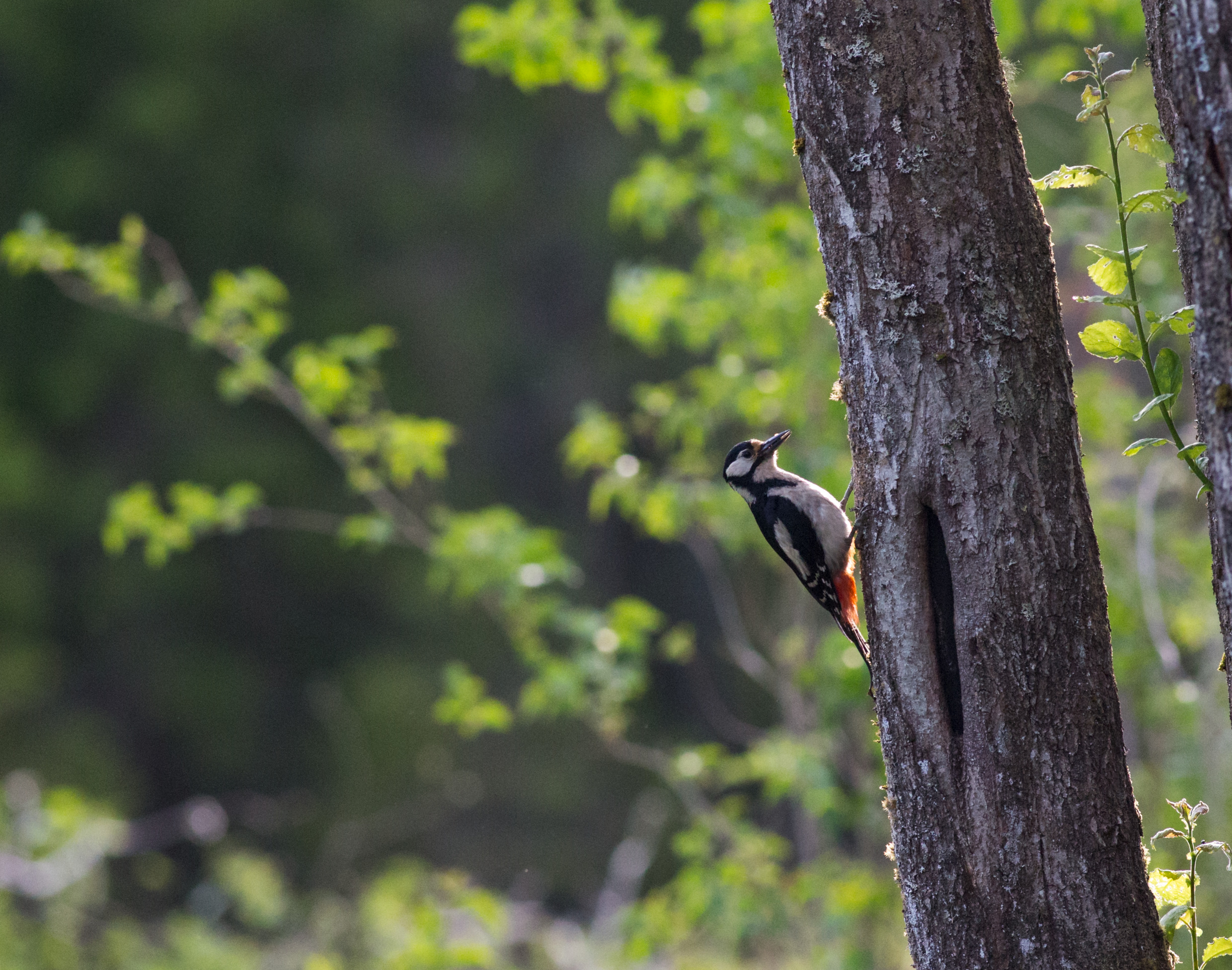 anders_tedeholm-woodpecker-5821.jpg
