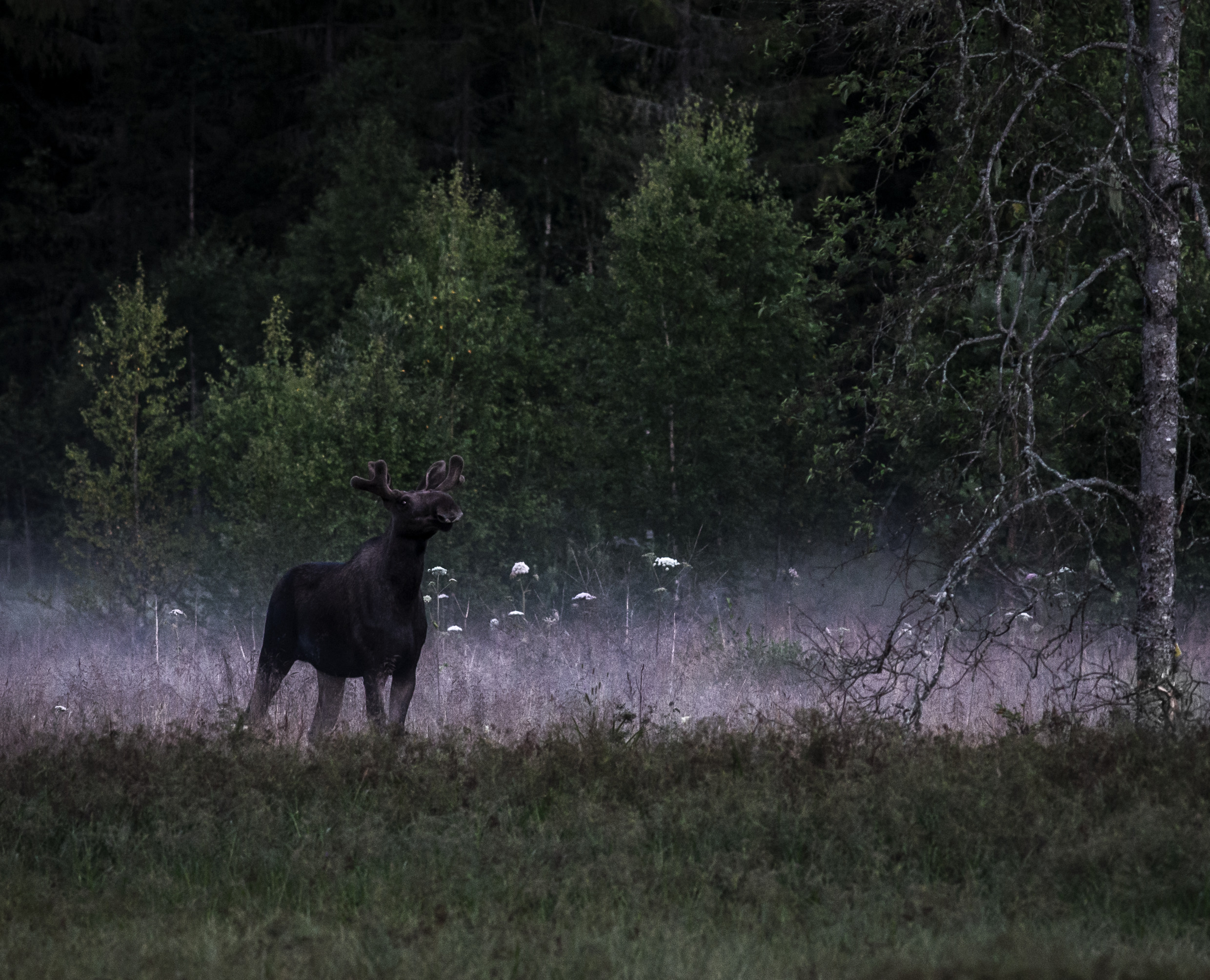 anders_tedeholm-moose_at_dawn-5540.jpg