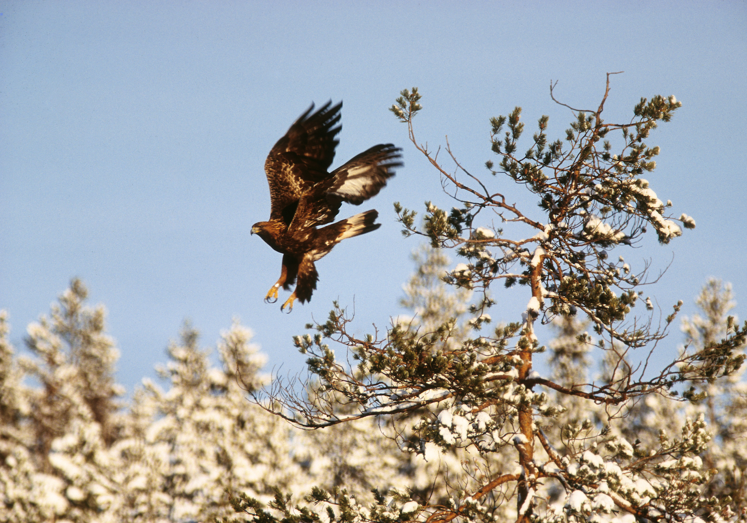 håkan_vargas_s-golden_eagle_-2037.jpg
