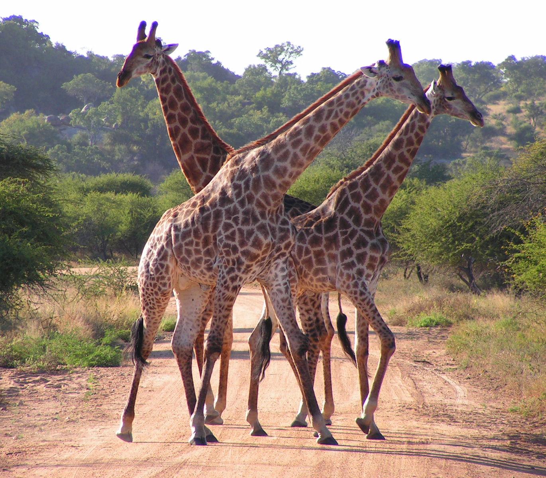 South_African_Giraffes,_fighting.jpg