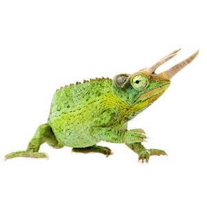 Jackson Chameleon Care