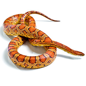 Corn Snake Care