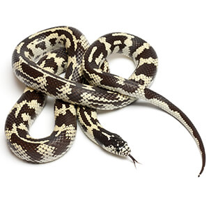 Kingsnake Care