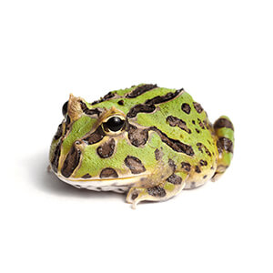 Pacman Frog Care