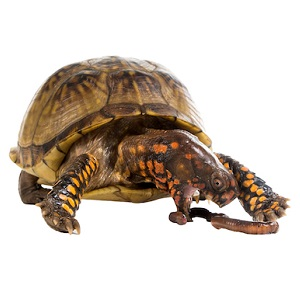 Box Turtle Food Guide