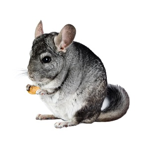 Chinchilla Food Guide