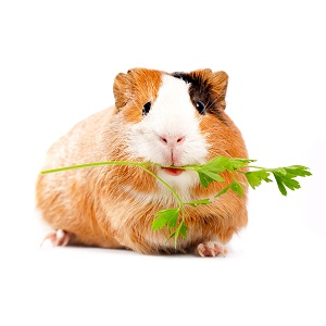 Guinea Pig Food Guide