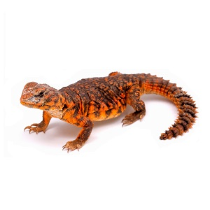 Uromastyx Care