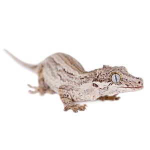 Gargoyle Gecko Care