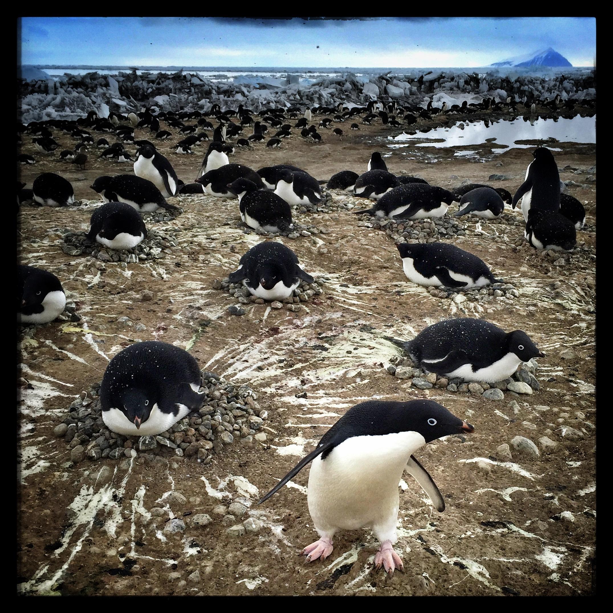 Adélie penguins, Antarctica.