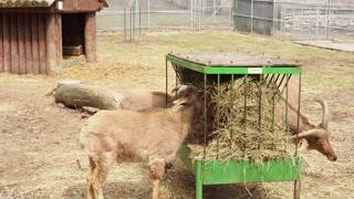 Barbary Sheep in Captivity - CATEGORY: ANIMALS