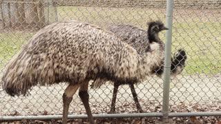 Emu in Captivity - CATEGORY: ANIMALS