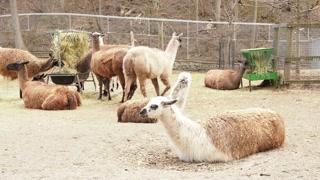 Llama in Captivity 01 - CATEGORY: ANIMALS