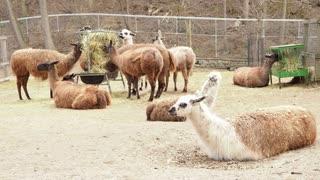 Llama in Captivity 02 - CATEGORY: ANIMALS