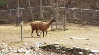 Llama in Captivity 03 - CATEGORY: ANIMALS