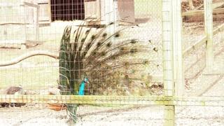 Peacock in Captivity 01 - CATEGORY: ANIMALS