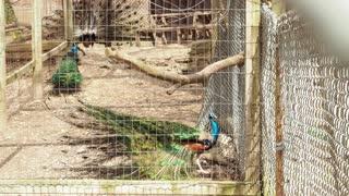 Peacock in Captivity 02 - CATEGORY: ANIMALS