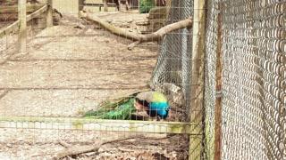 Peacock in Captivity 03 - CATEGORY: ANIMALS