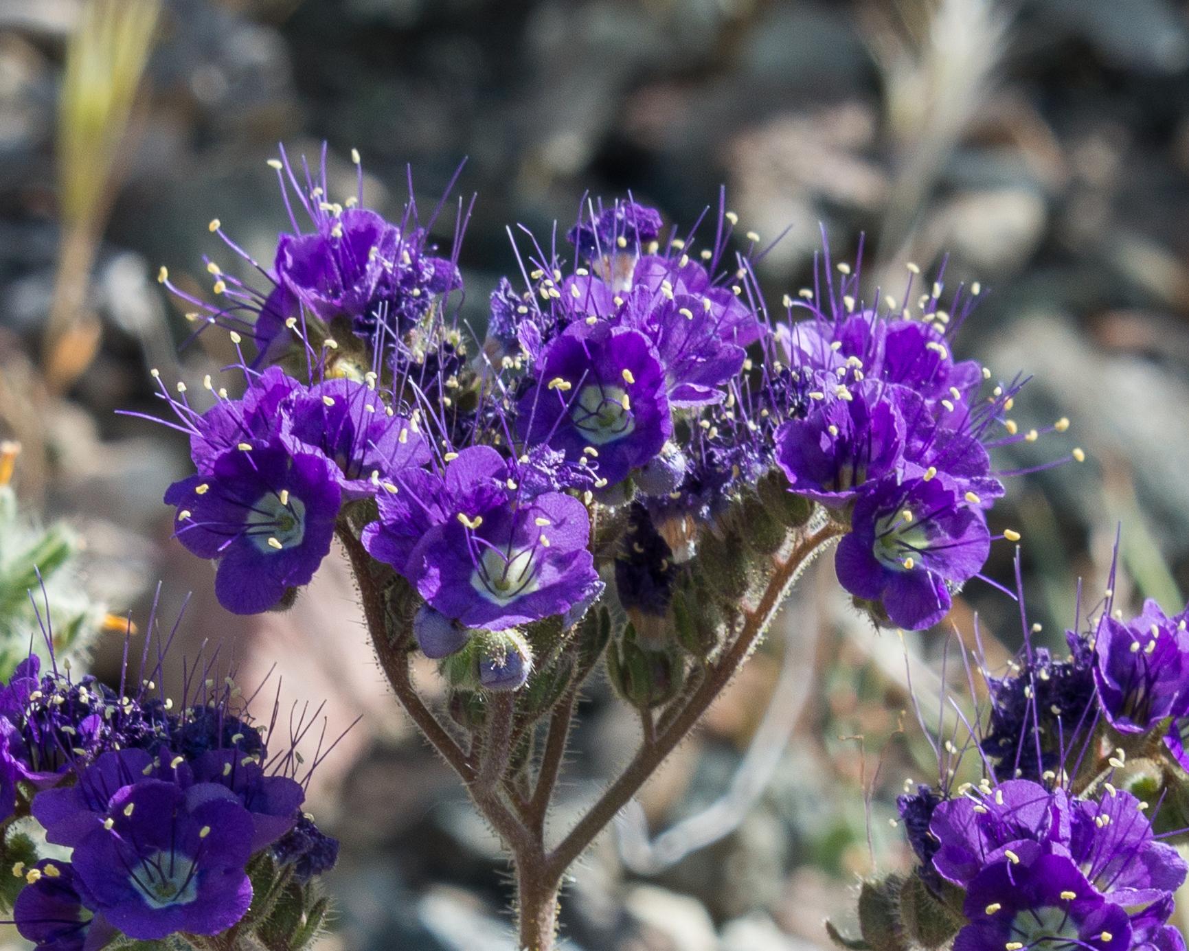 Se pueden ver las brillantes floraciones de  Phacelia  en la primavera.