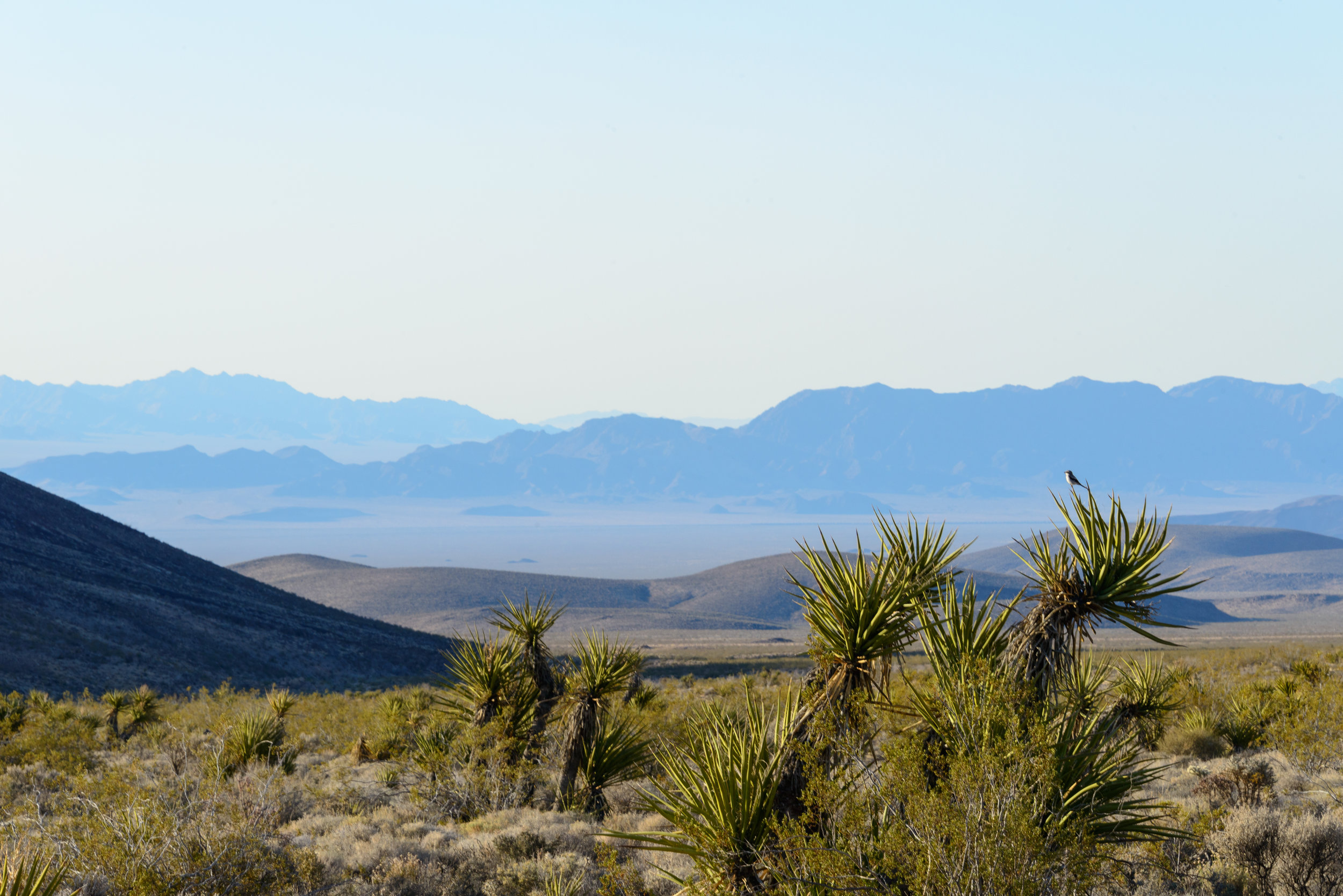 A bird perched on a Mojave yucca in the Preserve, with the Cadiz Valley in the distance.