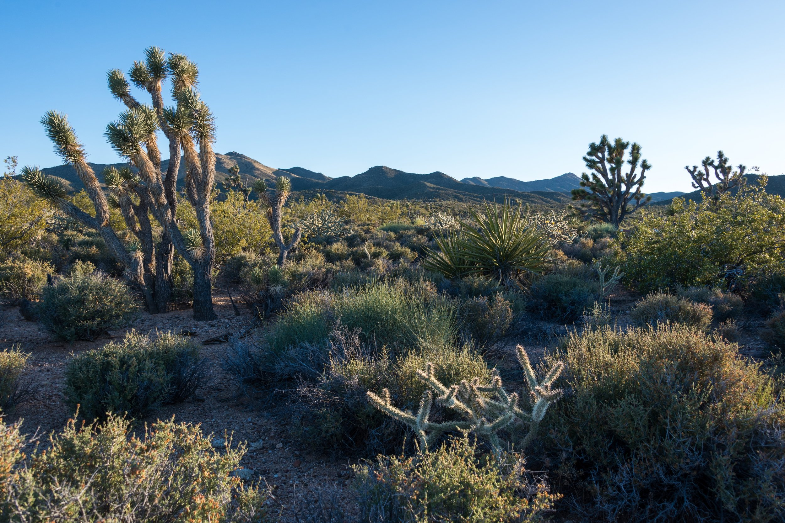 The Crescent Peak area along the Mojave National Preserve's northeastern boundary is part of the world's largest Joshua tree woodland, rich in native plant and animal life.