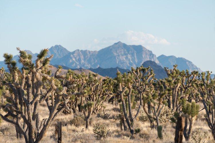 The Mojave National Preserve has more Joshua trees than Joshua Tree National Park!