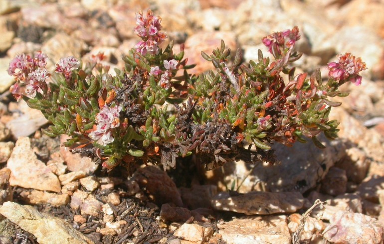 A Thorne's buckwheat is the kind of ground-hugging plant many humans would probably clumsily step on. Photo by James Andre.