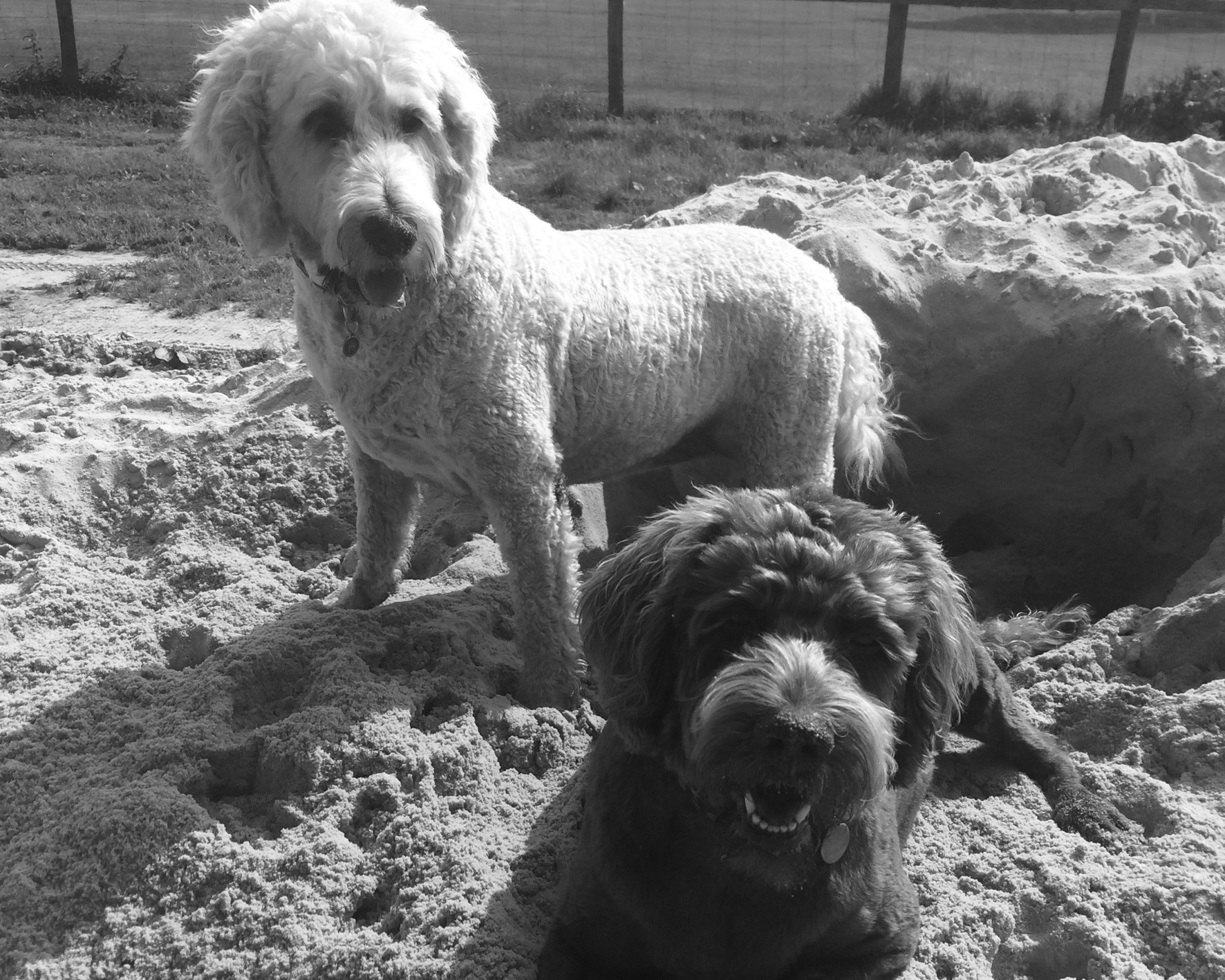 Kelpie-dog-1.jpg