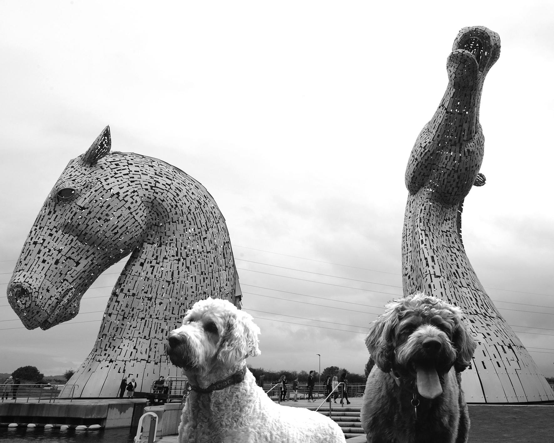 Kelpie-dogs-3.jpg