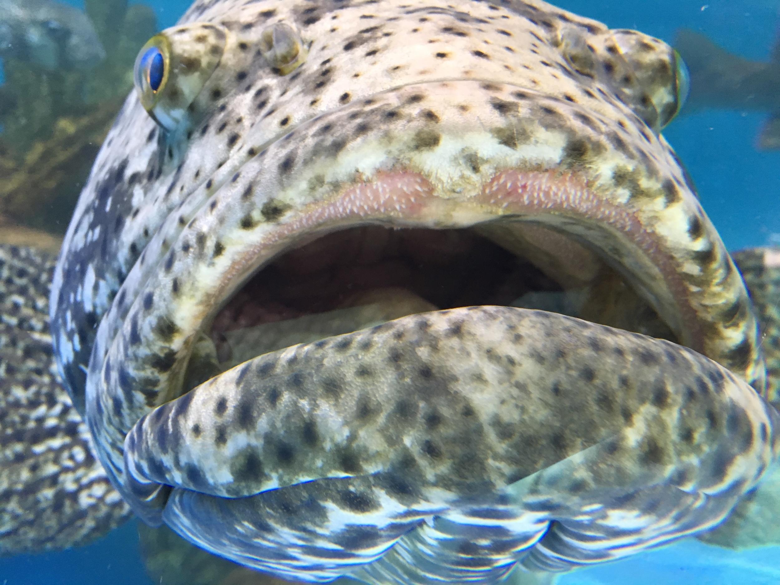 giant-grouper-florida-keys-aquamarine-encounters