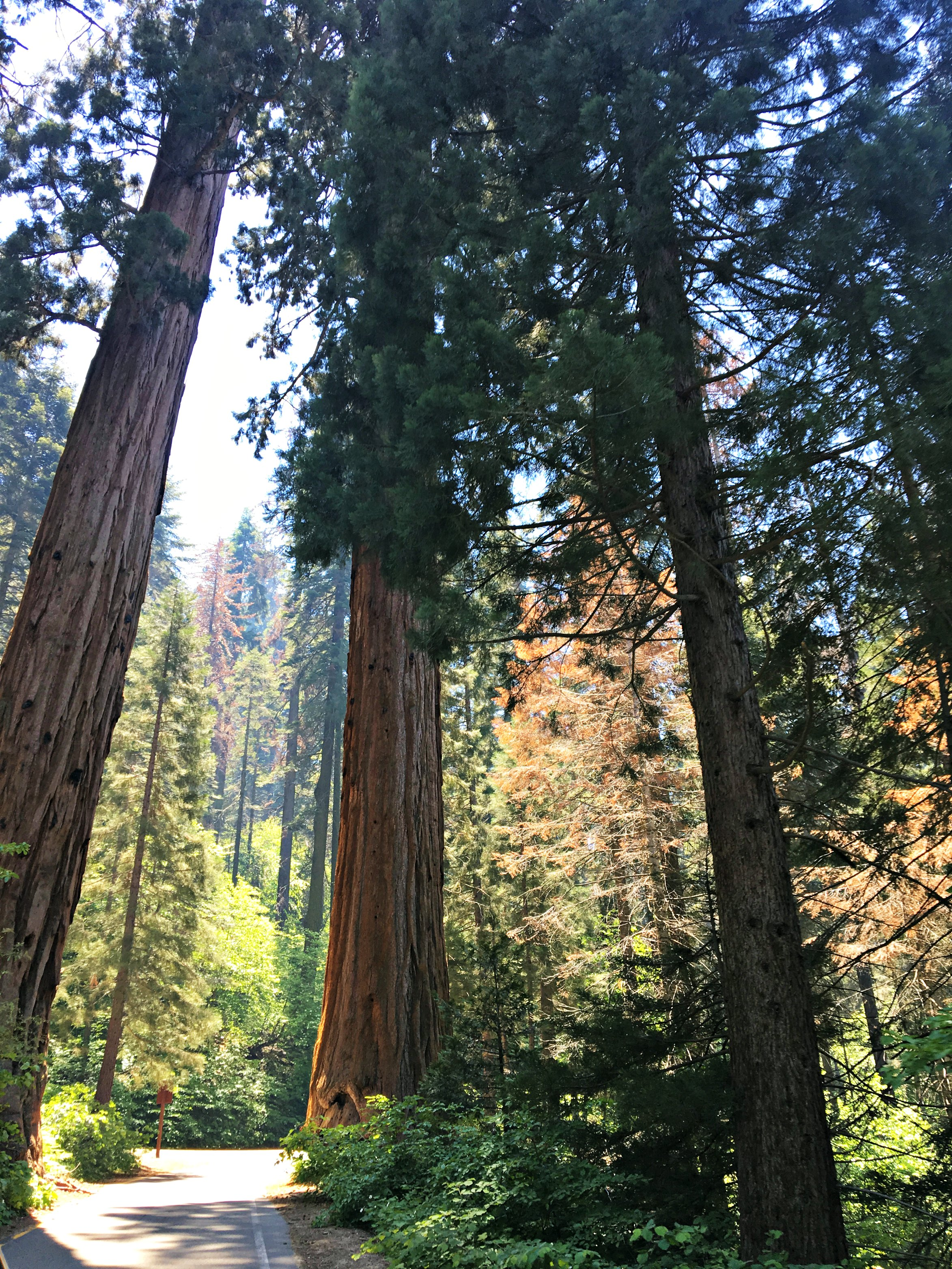 walking-among-giants-Sequoia-National-Park