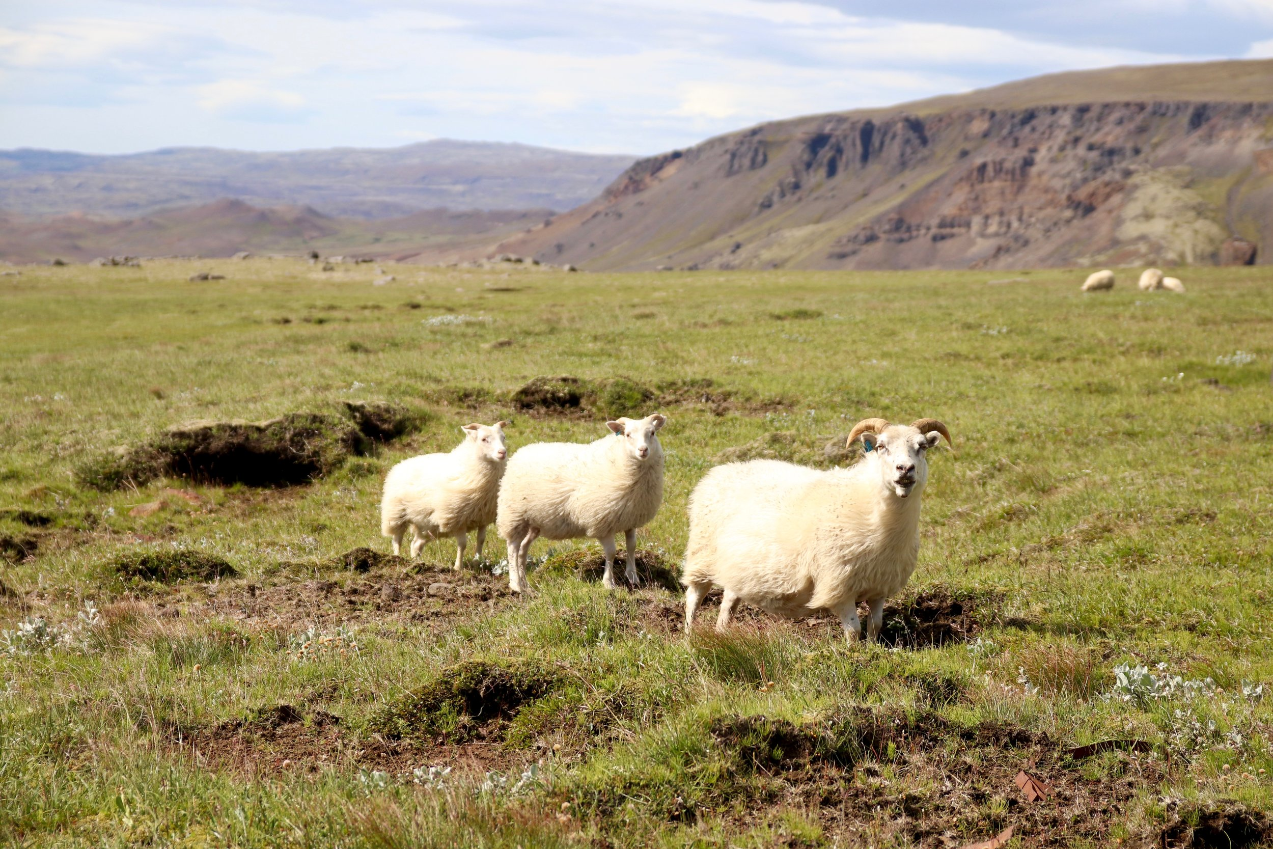 Sheep on the Golden Circle