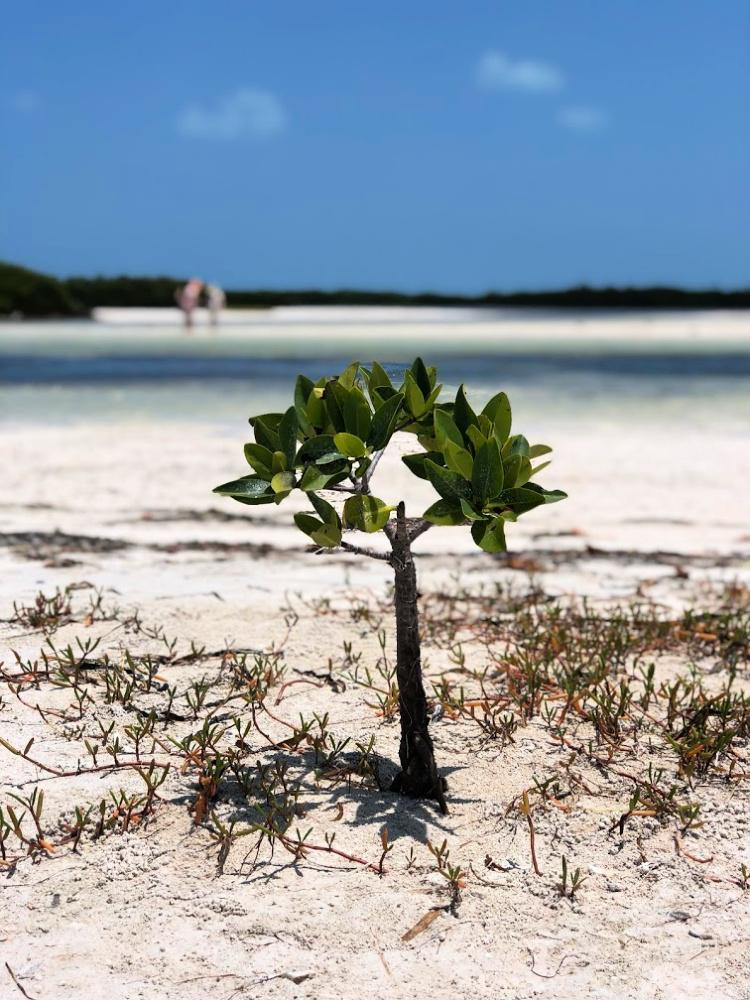 baby-mangrove-tree