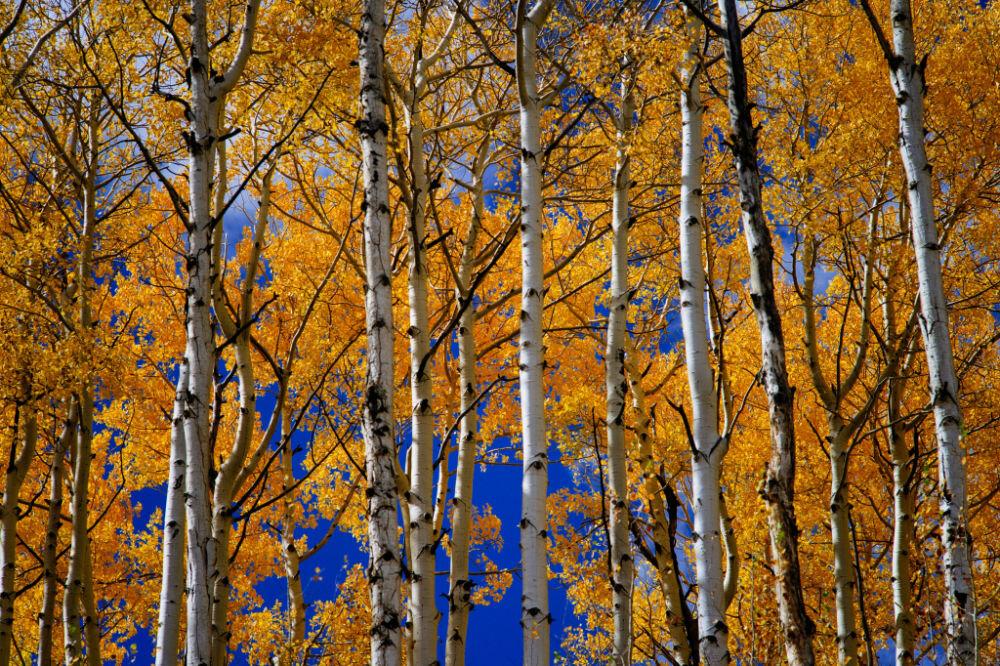 Durango-aspen-fall-colors