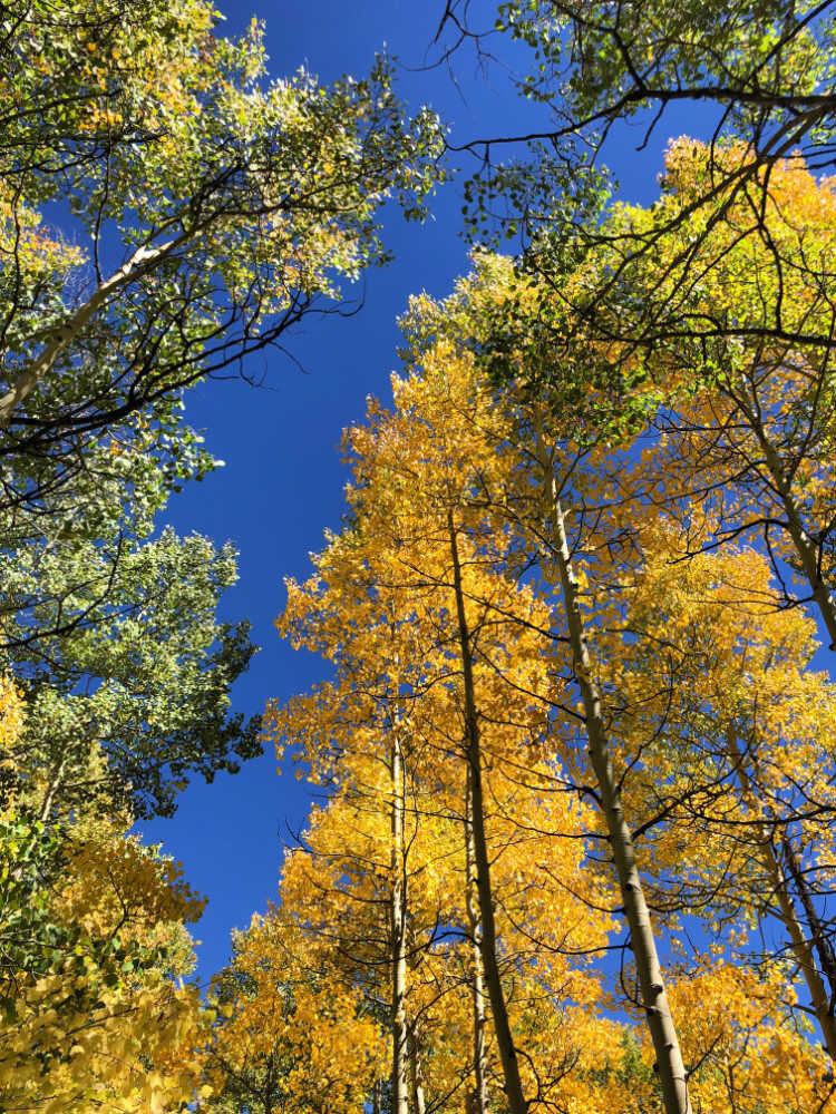 fall-aspens-colorado