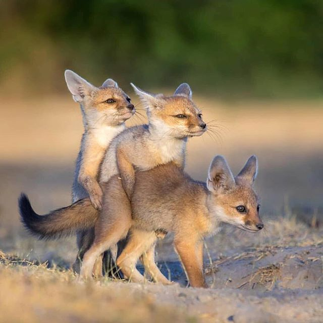 """@earthpix just posted a picture I really felt related to somehow. """"It takes three"""" says the caption and sometimes it really does😂👌 who sees our personality in these baby foxes?"""