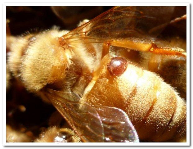 Varroa Mite on bee