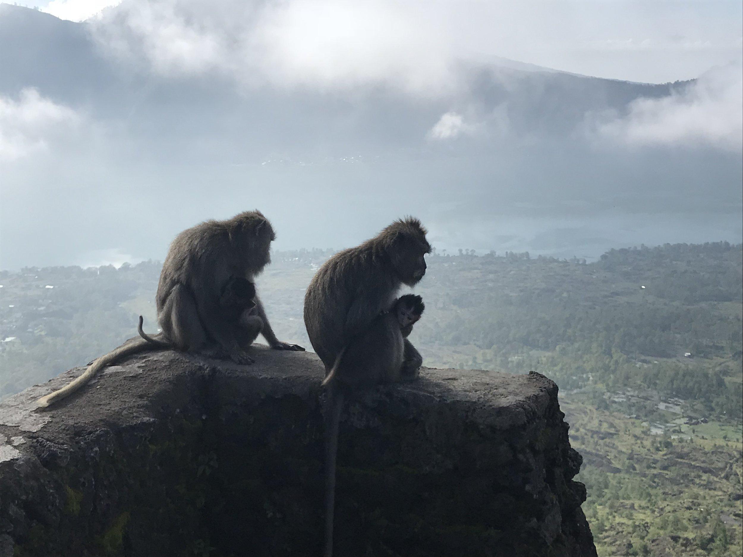 Wild monkeys Mt batur.JPEG