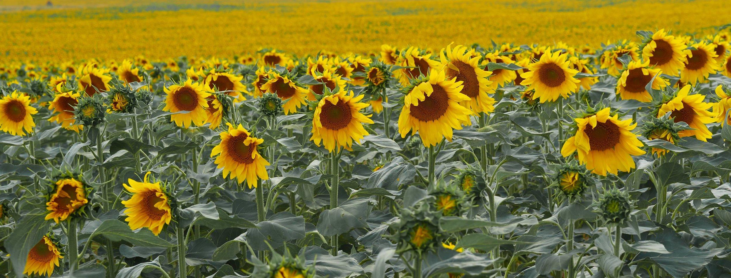 Aaron-Bowen-sunflowers.jpg