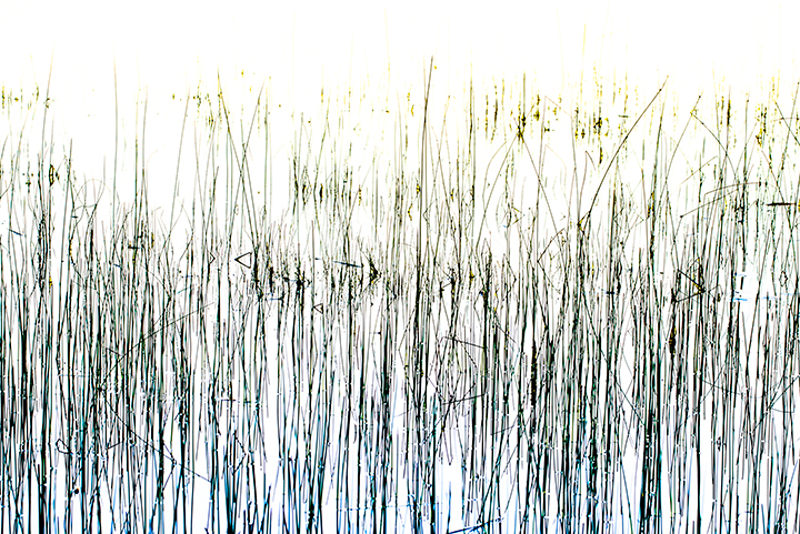 "Twombly in the Reeds, 2014, Pigment Print, 29""x53"".   Reeds in shallow water resemble a contemporary abstract line drawing."
