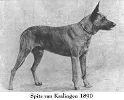 Holländsk Herdehund