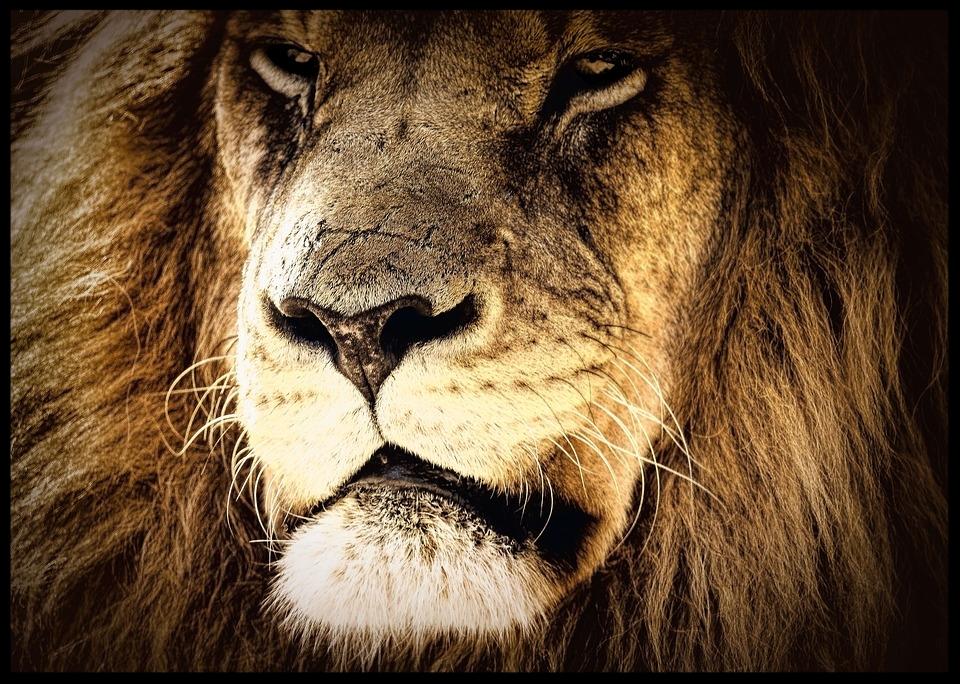 lion-2794967_960_720.jpg