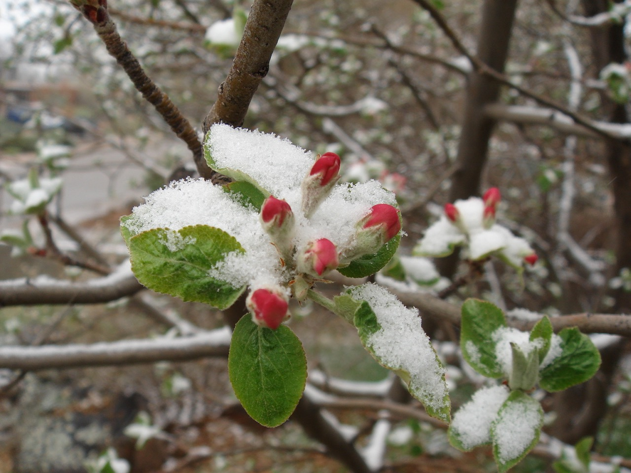 Spring Snow on Blossoms
