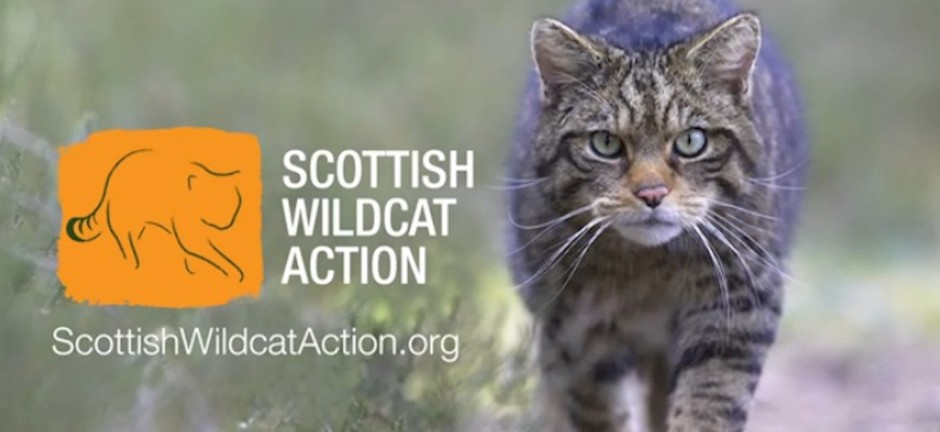 scottish-wildcat-action-an-introduction-video.jpg