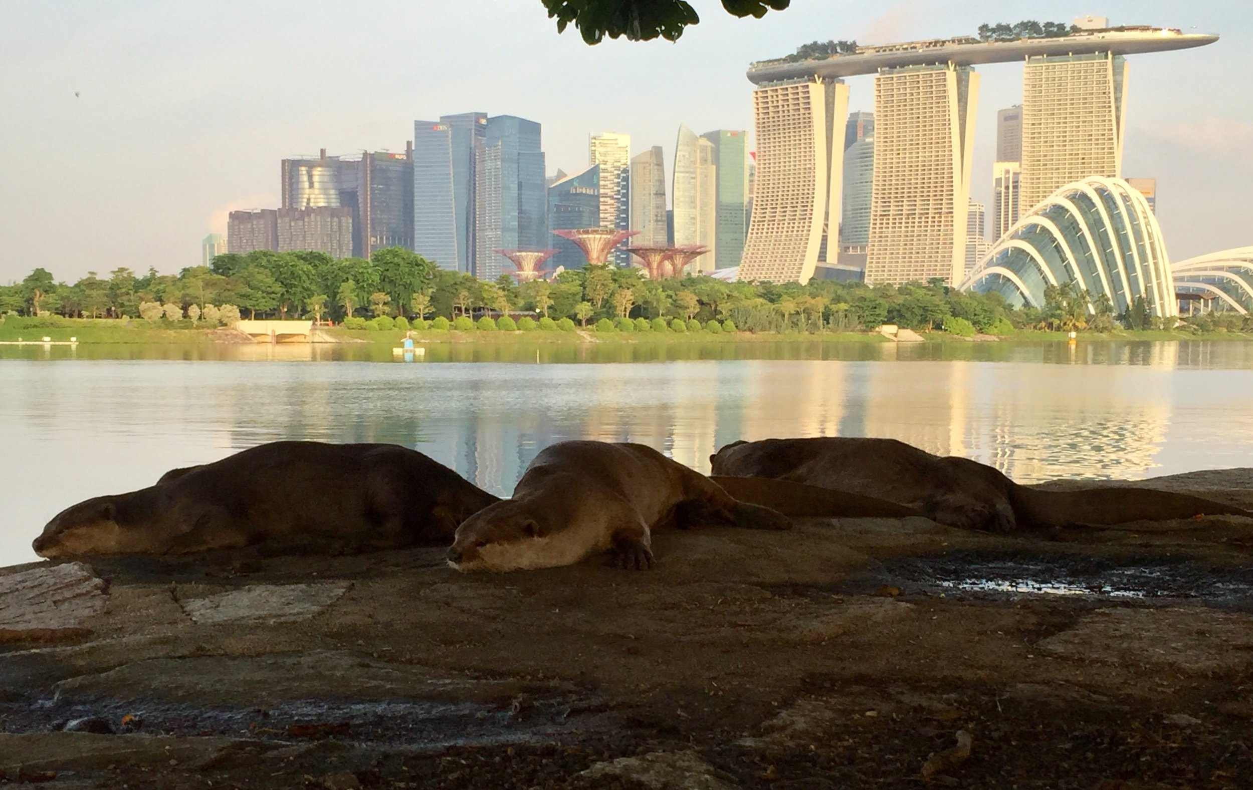 Otters in Singapore distracting me from writing swimming articles.