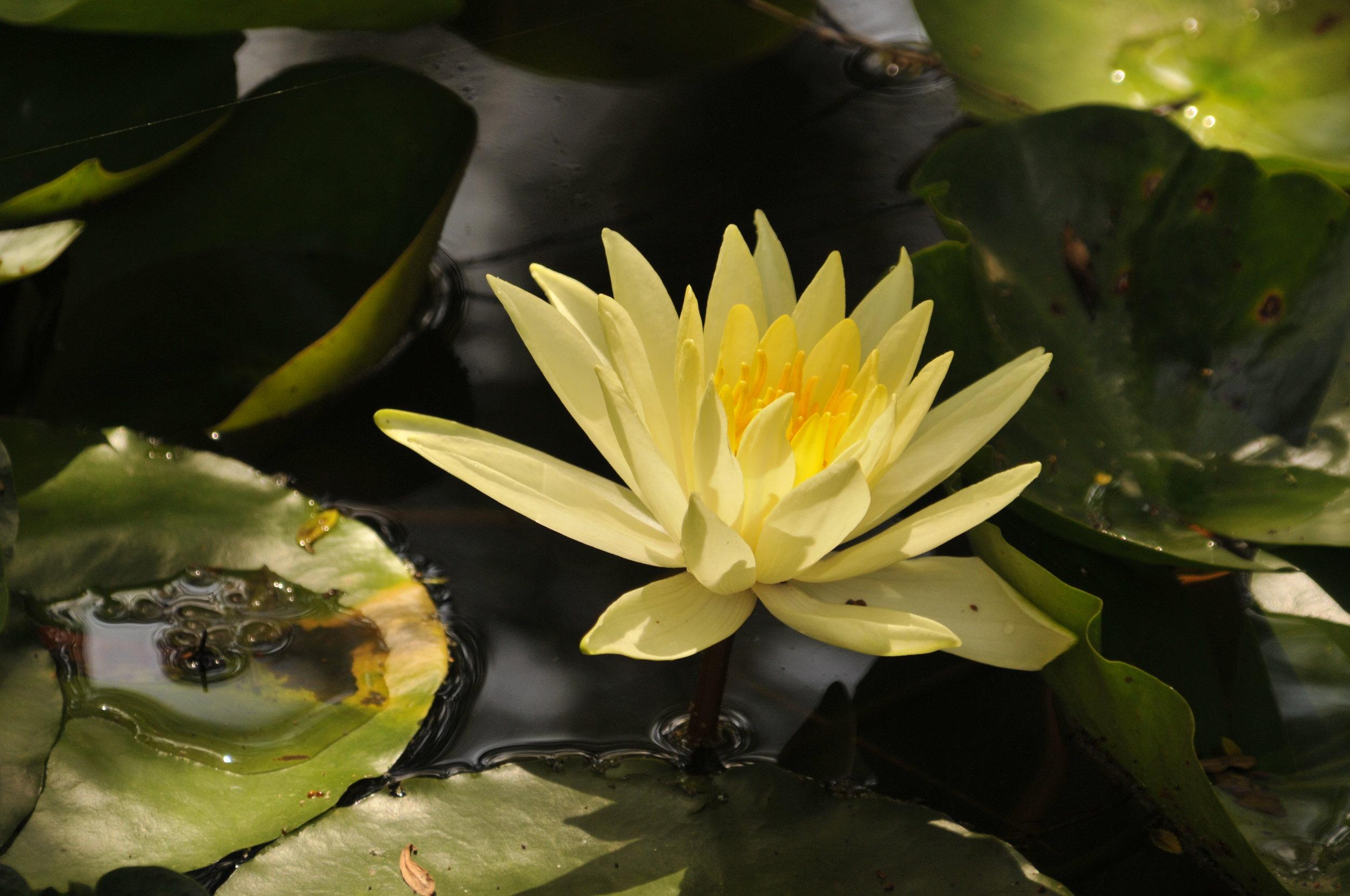 Lotus Flower 3296.jpg