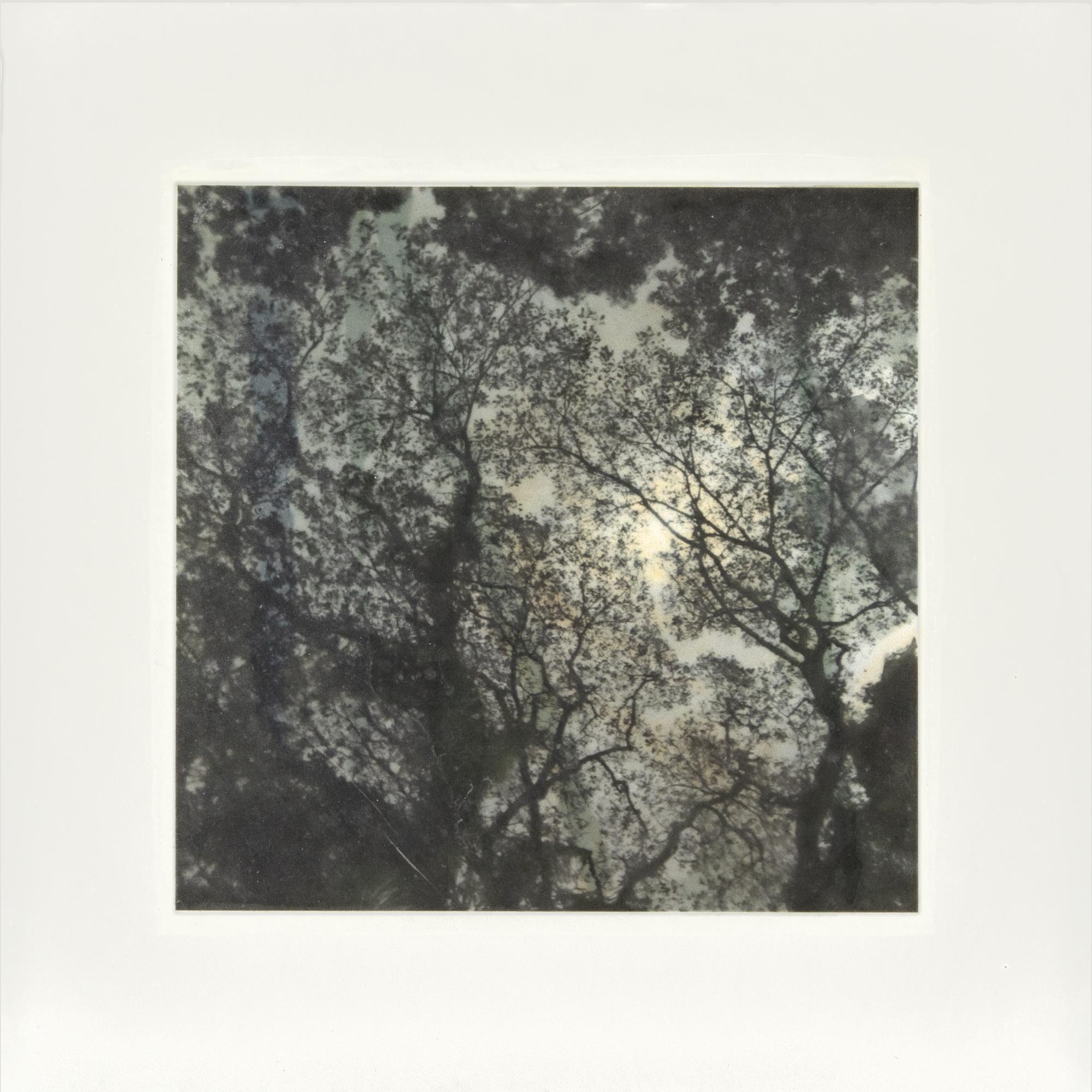 """Samaan Tree Tobago III, 18"""" x !8"""", 2017"""