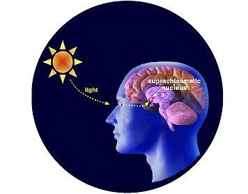 la melatonina   regola il ritmo circadiano e si produce in assenza di luce.