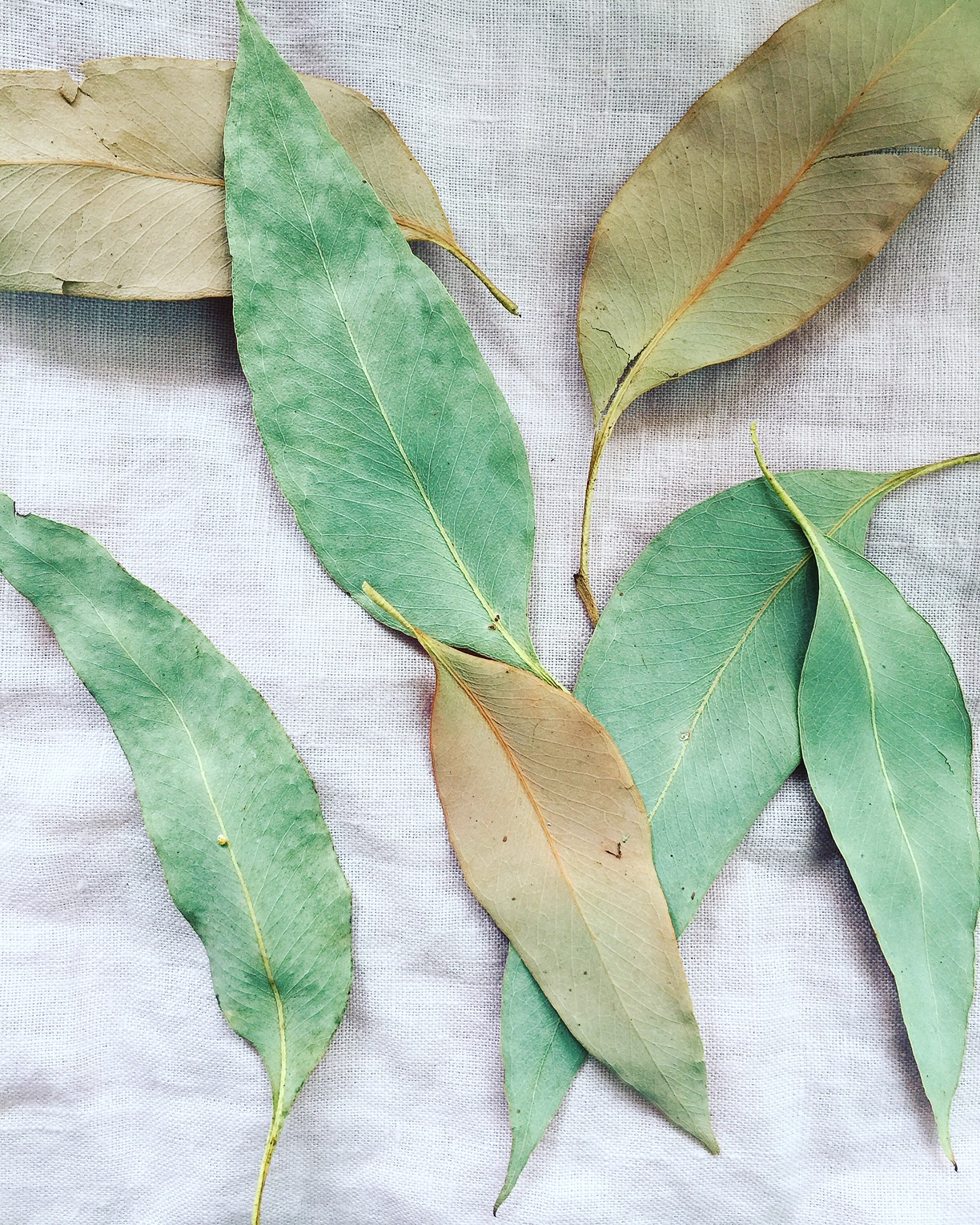 Strawberry Gum leaves (available in the shop)